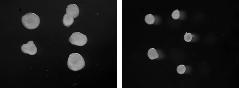 The lab received seed funding from the Utah Genome Project for studying microcephaly using organoids